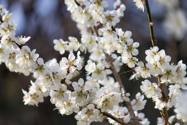立春から咲き始める梅の花